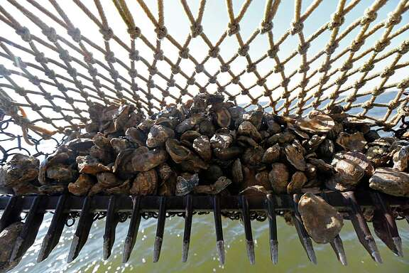 Oysters are dredged up on the Hustler in Galveston Bay, where several reefs have been closed.