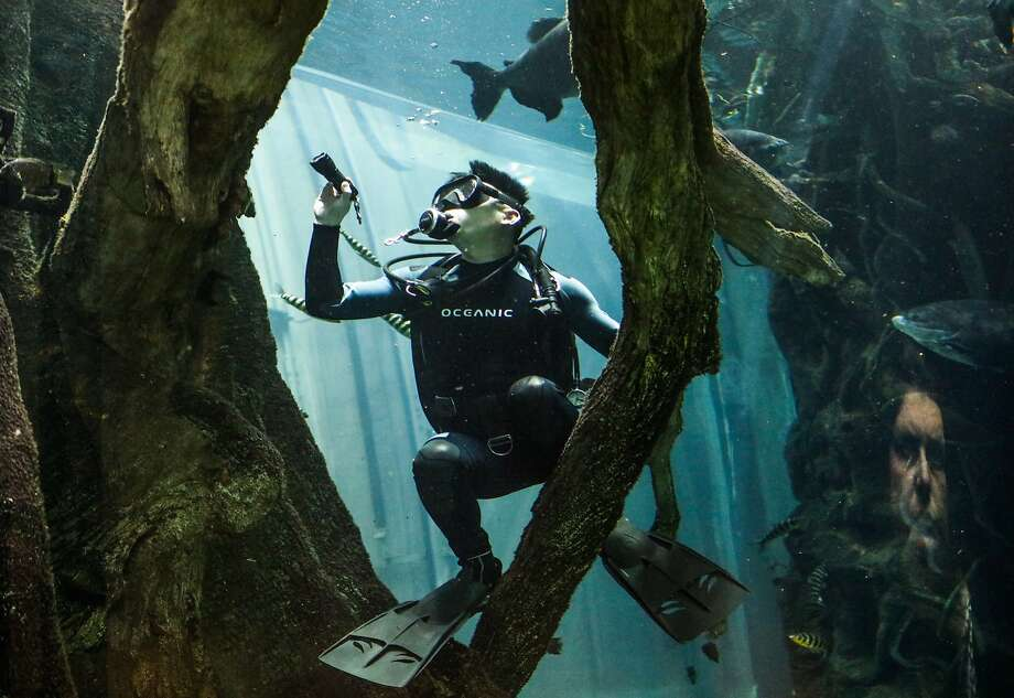 A volunteer diver swims through the Amazon rainforest aquarium, while visitor Valdete Cooper (right) looks on, at the California Academy of Sciences, in San Francisco, California. Photo: Gabrielle Lurie, Special To The Chronicle
