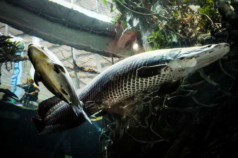 Dive inside Cal Academy's Flooded Forest fish tank with us - SFGate