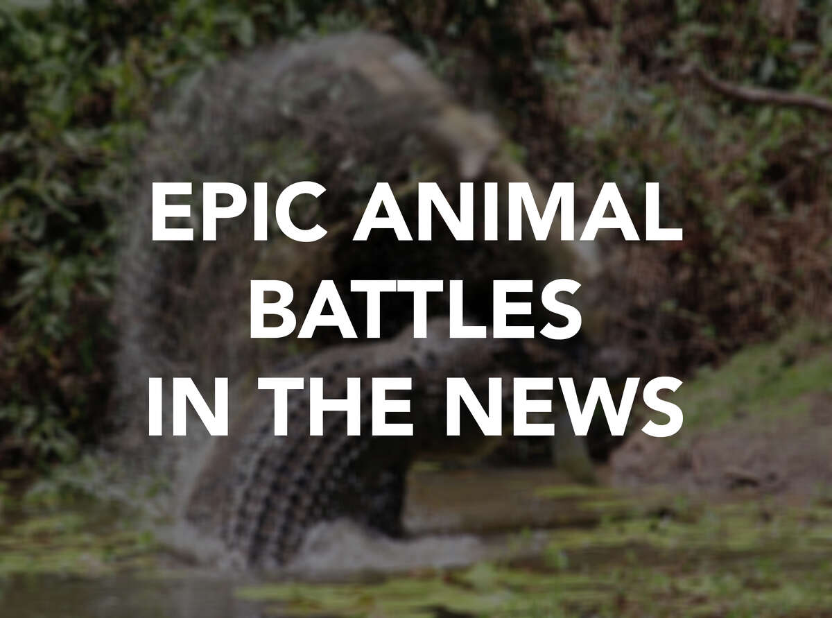 From snakes to crocodiles to squirrels, these are some gnarly fights between animals that have made headlines.