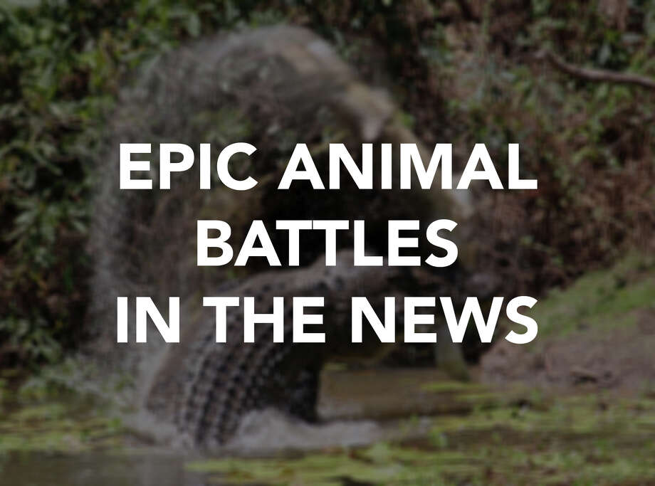 From snakes to crocodiles to squirrels, these are some gnarly fights between animals that have made headlines. Photo: File
