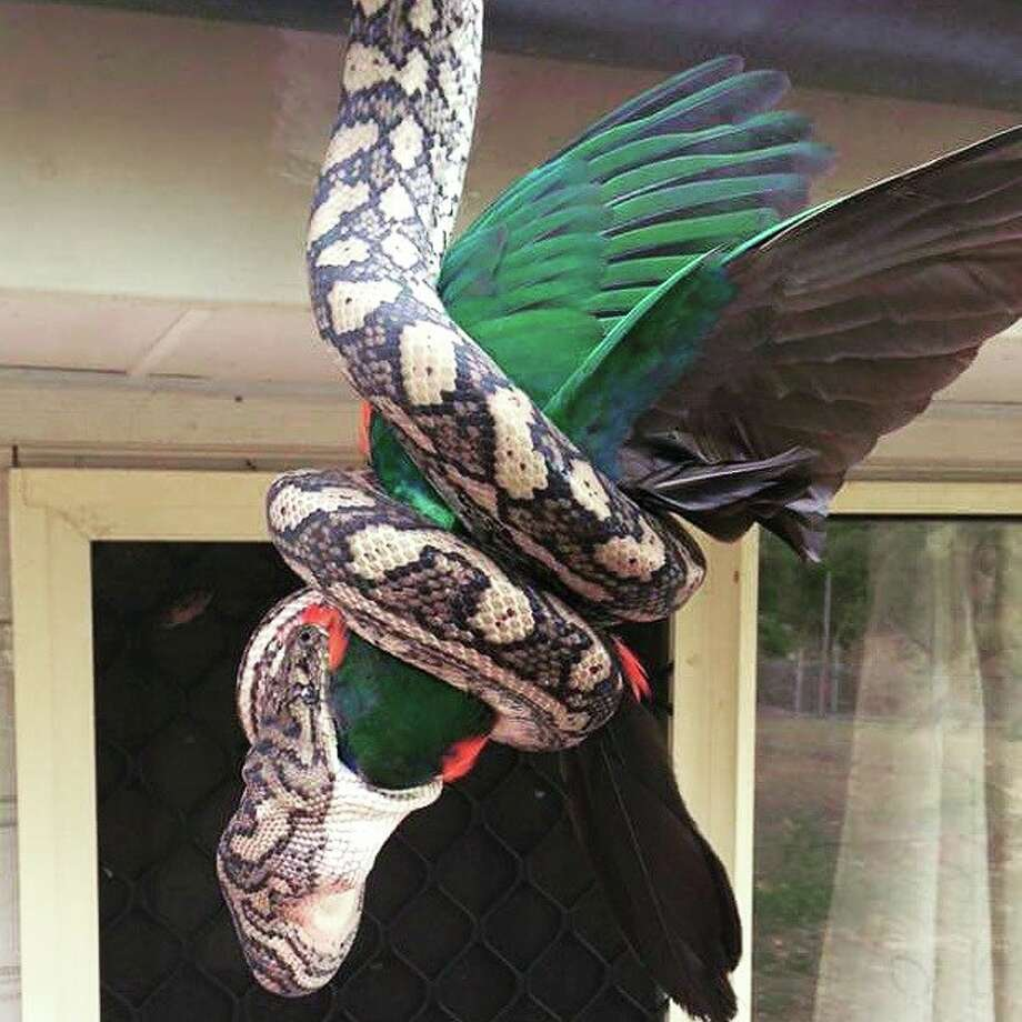 Python begins to ingest the parrot. Photo: The Snake Catcher 24/7