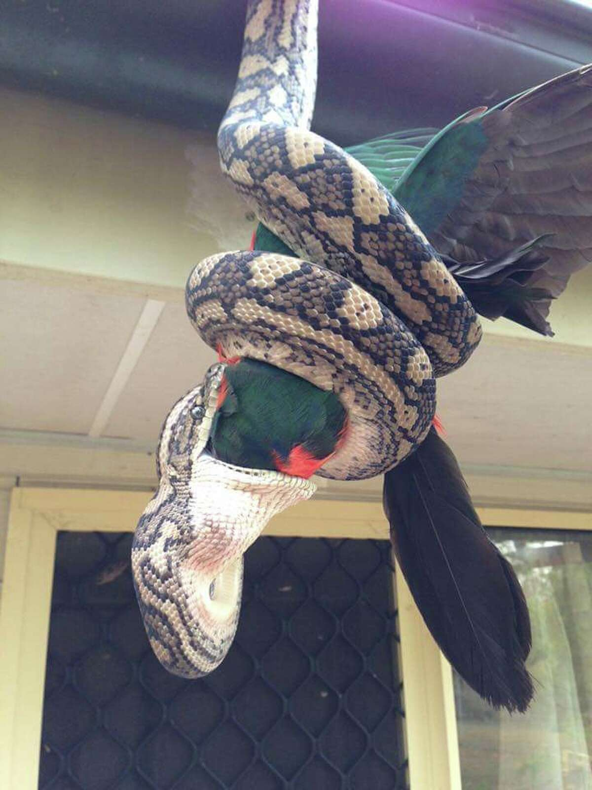 Another angle shows how wide the python's mouth opens to eat the bird.