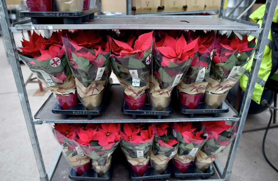 With Good Watering Poinsettias Can Last 4 6 Months San