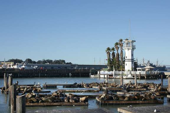 Sea lions are seen on the dock at Pier 39 on Monday, December 14,  2015 in San Francisco, Calif.
