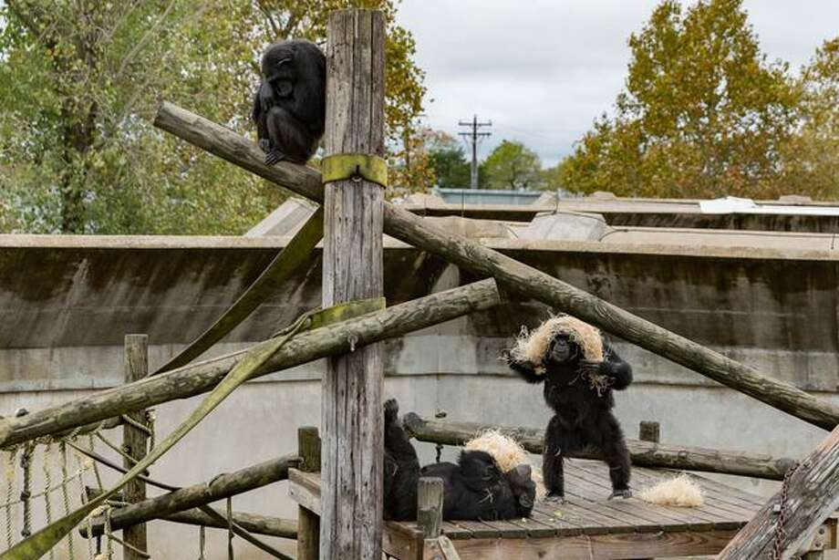 """Chimps play with wooden straw, used for nesting. At the Keeling Center, chimps live in hexagonal """"pods"""" with about nine other chimps that form a social group. Photo: Shelby Knowles/Texas Tribune"""
