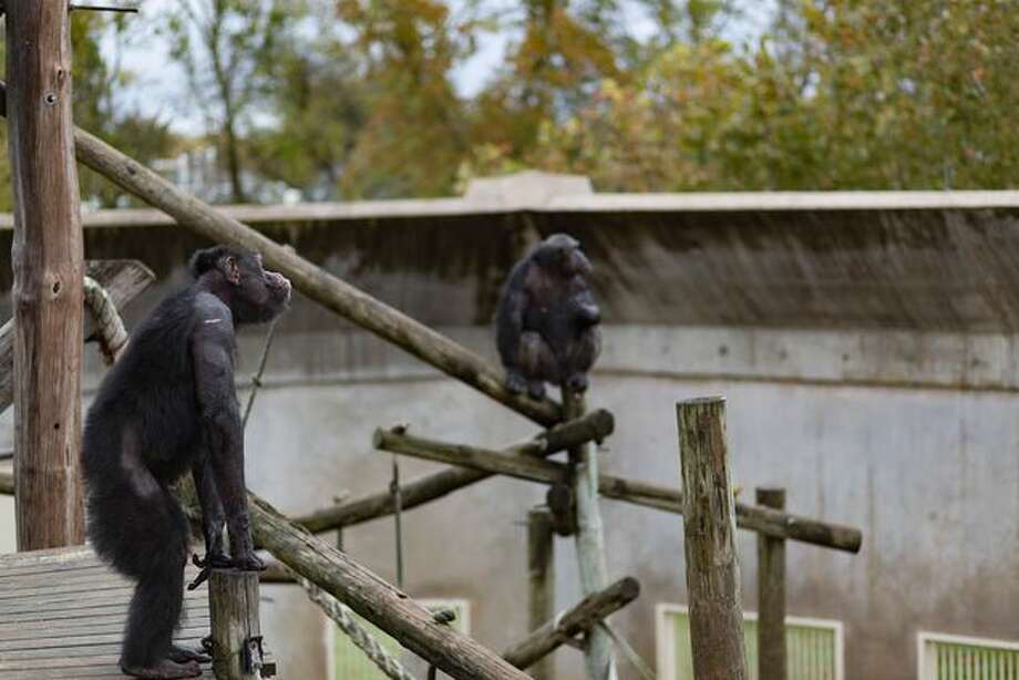 Chimps wait to be fed a lunchtime snack of oranges. Chimp Haven, the federally designated sanctuary near Shreveport, Louisiana, would be more like a natural habitat -- and possibly hard for elderly chimps to adjust to. Photo: Shelby Knowles/Texas Tribune