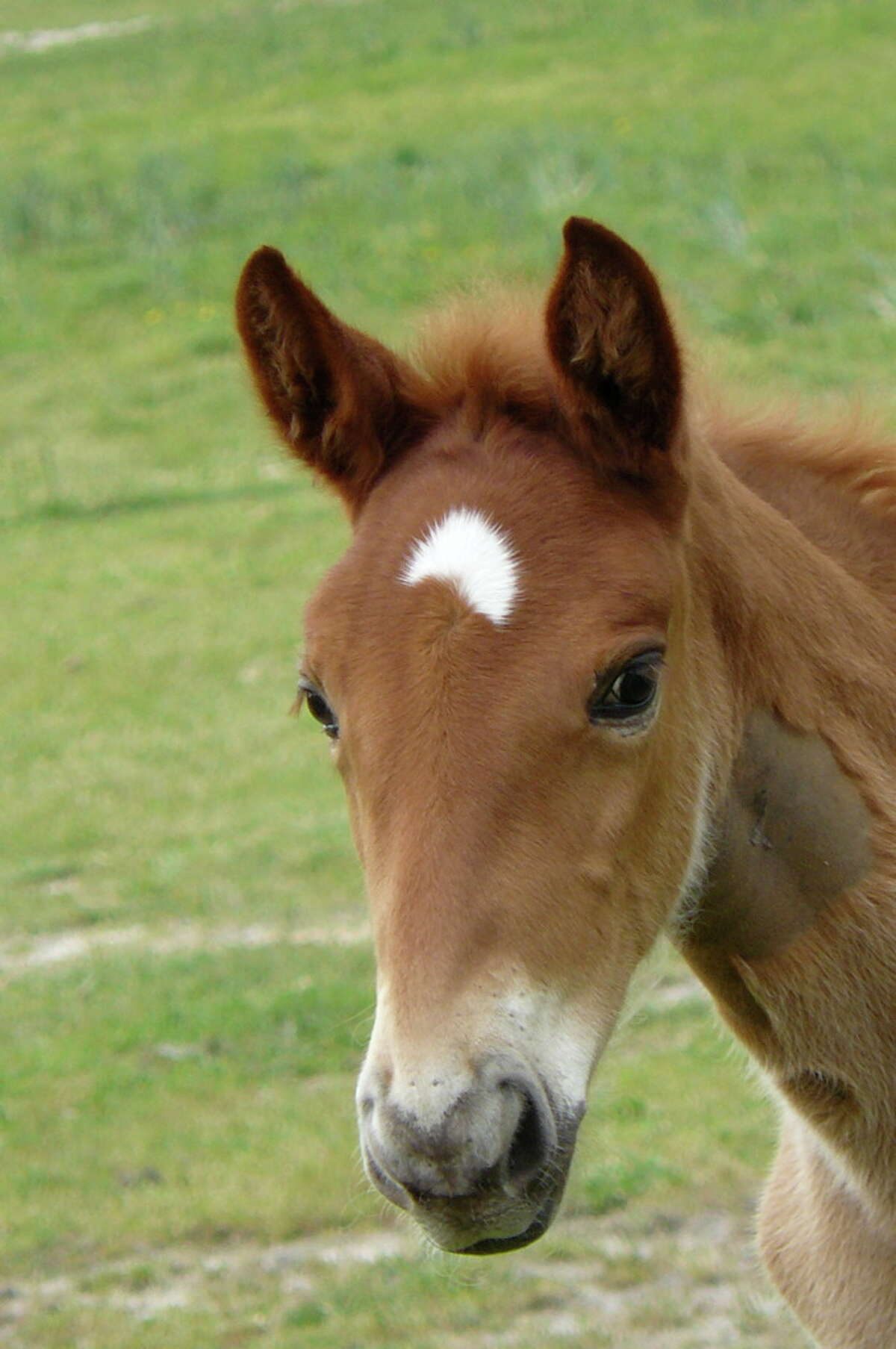 Charlotte as a filly in Oklahoma, where she spent her first two years. She joined the Houston Police Department mounted patrol in 2011 and died in a traffic accident in downtown Houston, Dec. 3, 2015.