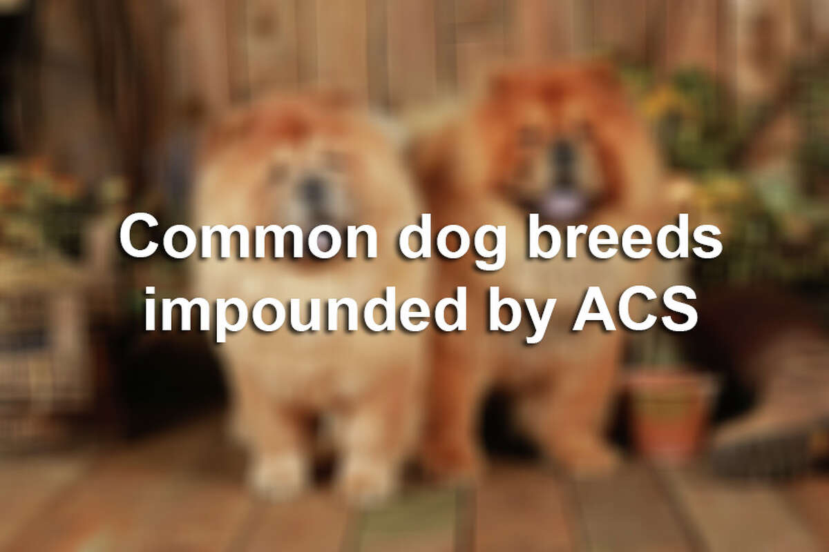 Click through the slideshow to see a collection of the most commonly impounded dog breeds in San Antonio.