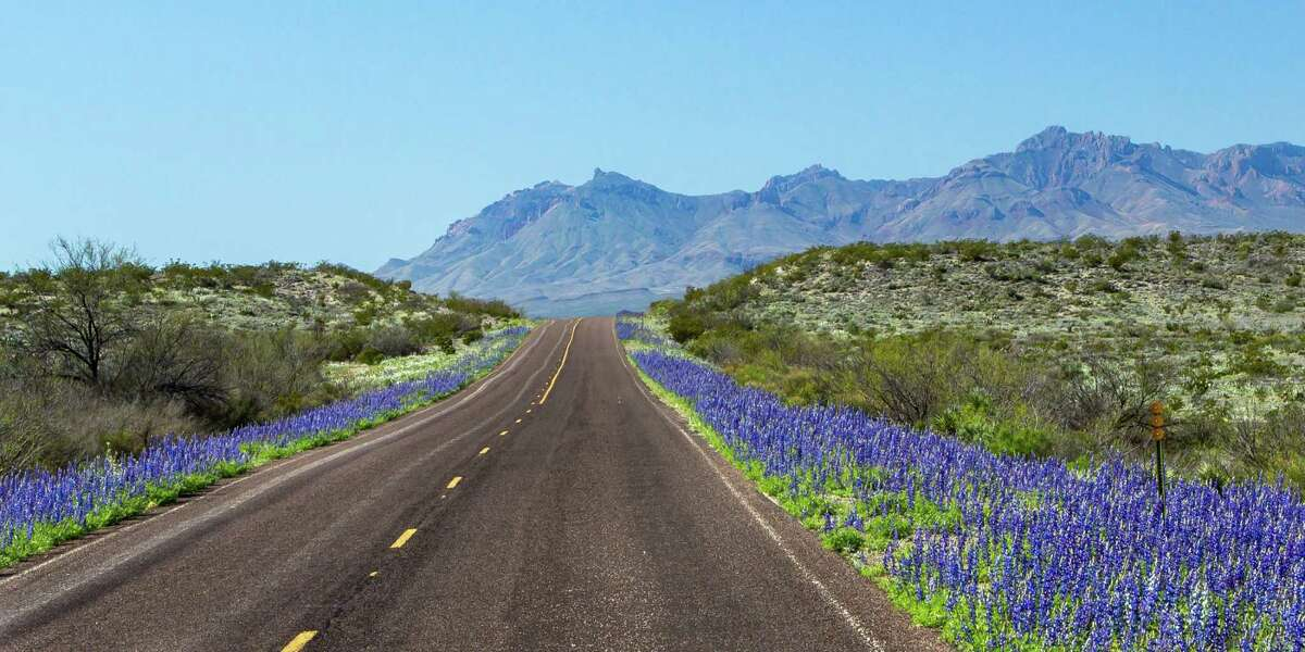The state's wildflower, the bluebonnet, is seen in full bloom in Big Bend National Park.
