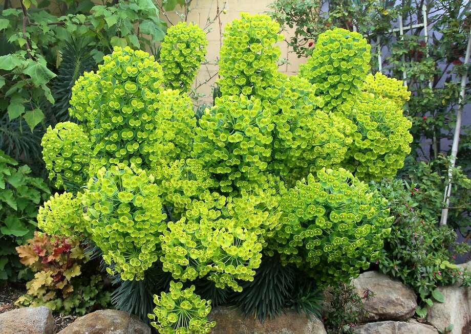 Euphorbia characias (Dwarf) Photo: Annie's Annuals & Perennials