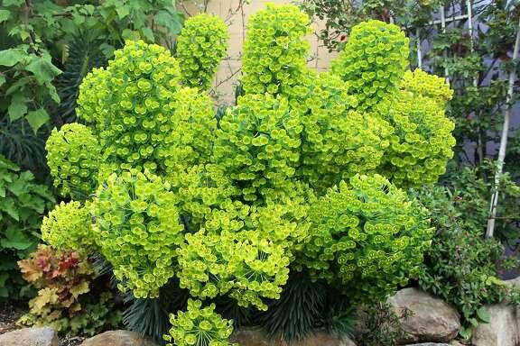 Euphorbia characias (dwarf).