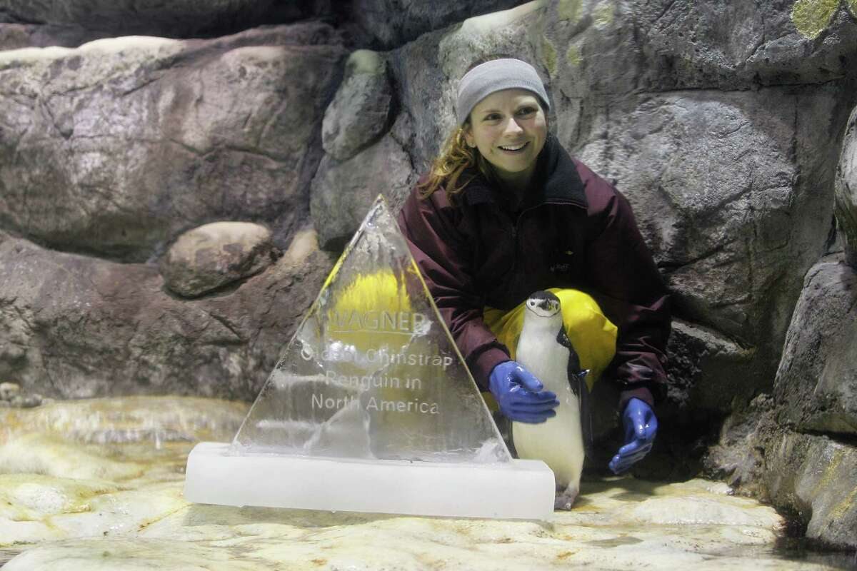 Moody Gardens biologist Sasha Francis poses with Wagner the Penguin, who is the oldest chinstrap penguin in the North America Wednesday, Dec. 16, 2015, in Galveston. Wagner turned 32 on Wednesday, although the normal lifespan for a chinstrap penguin is 25-30 years. An ice sculpture was made in Moody Gardens Ice Land to honor Wagner.