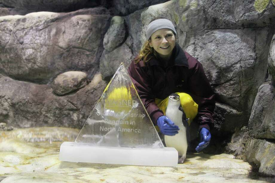 Moody Gardens biologist Sasha Francis poses with Wagner the Penguin, who is the oldest chinstrap penguin in the North America Wednesday, Dec. 16, 2015, in Galveston. Wagner turned 32 on Wednesday, although the normal lifespan for a chinstrap penguin is 25-30 years. An ice sculpture