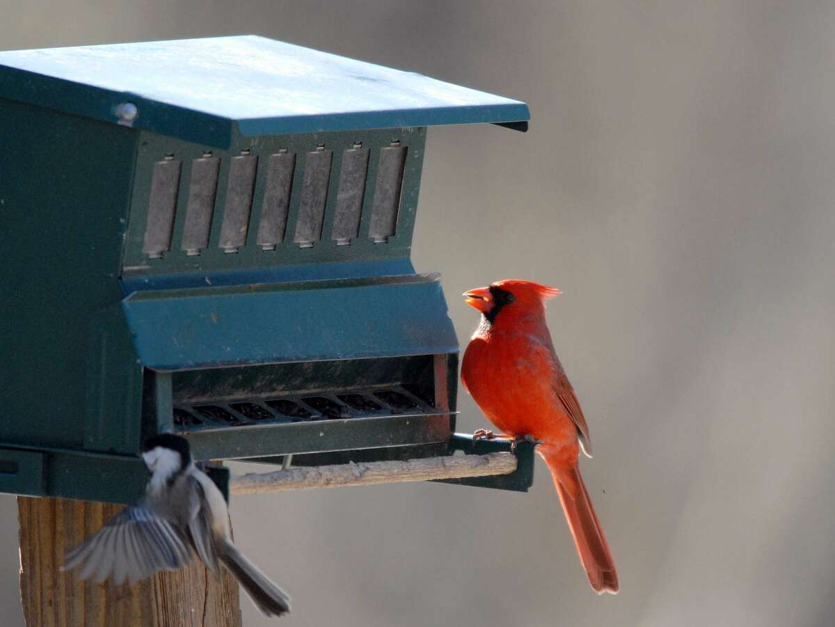 A cCardinal eats at a bird feeder at the Five Rivers Environmental Education Center in Delmar, NY on Sunday, Feb. 15, 2009. This weekend was the Great Backyard Bird Count. (Paul Buckowski/Times Union)