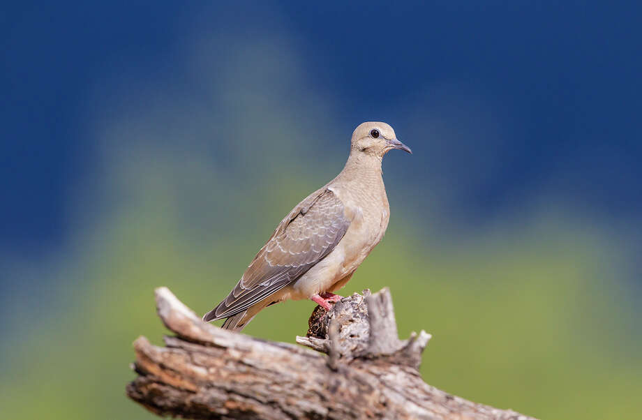 Doves have always been a symbol of peace.  Mourning doves are common in the Houston area. Photo: Kathy Adams Clark / Kathy Adams Clark/KAC Productions
