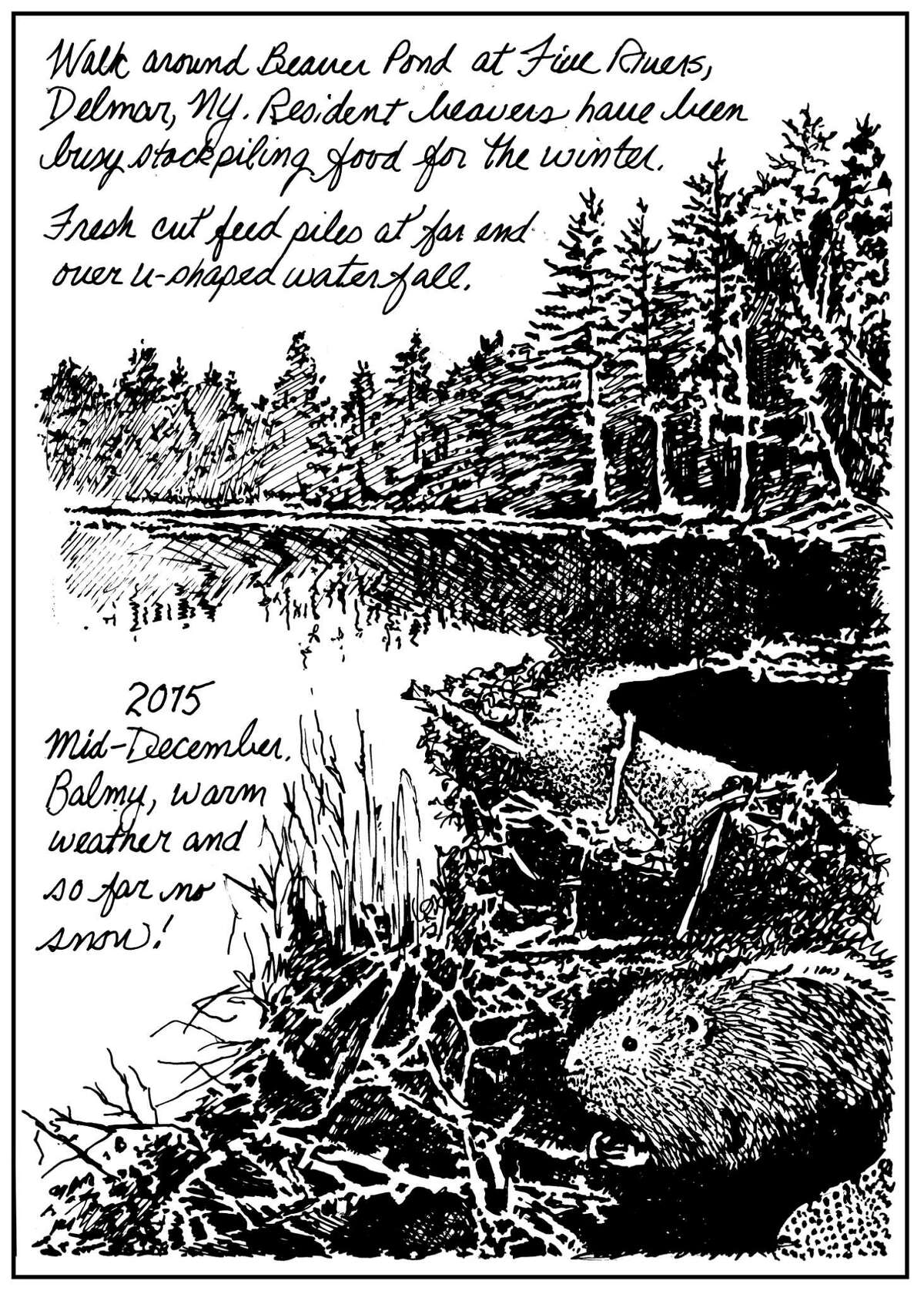 At this time of year, the best known tree cutting and dam building activities of North American beaver's (Castor canadensis) have subsided. Since late autumn, they've instead been busily preparing a feed pile, anchoring branches along the water's edge by ramming them into the muddy bottom of the pond, then gathering and storing twigs, sticks and bark within. (Carol Coogan)