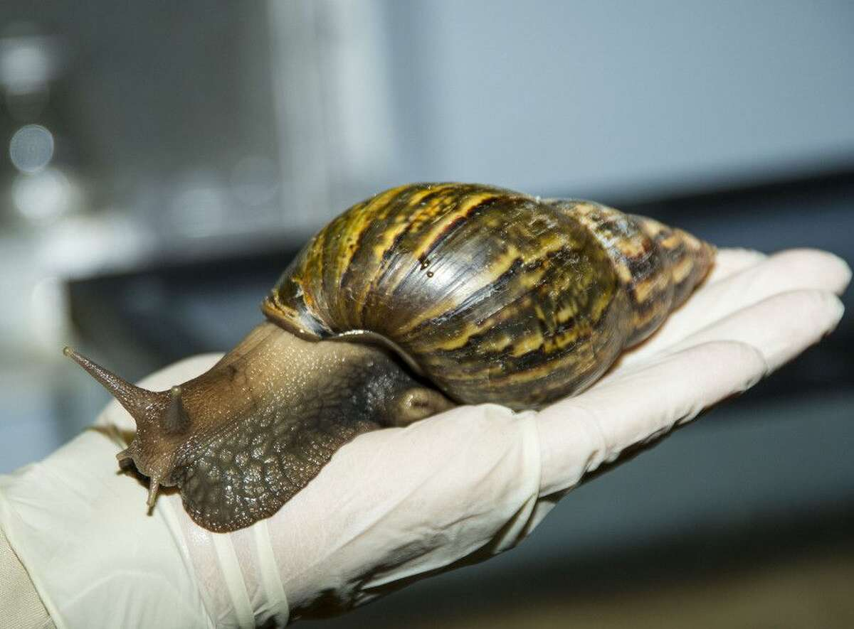 The giant land snails have been known to eat the paint off walls.