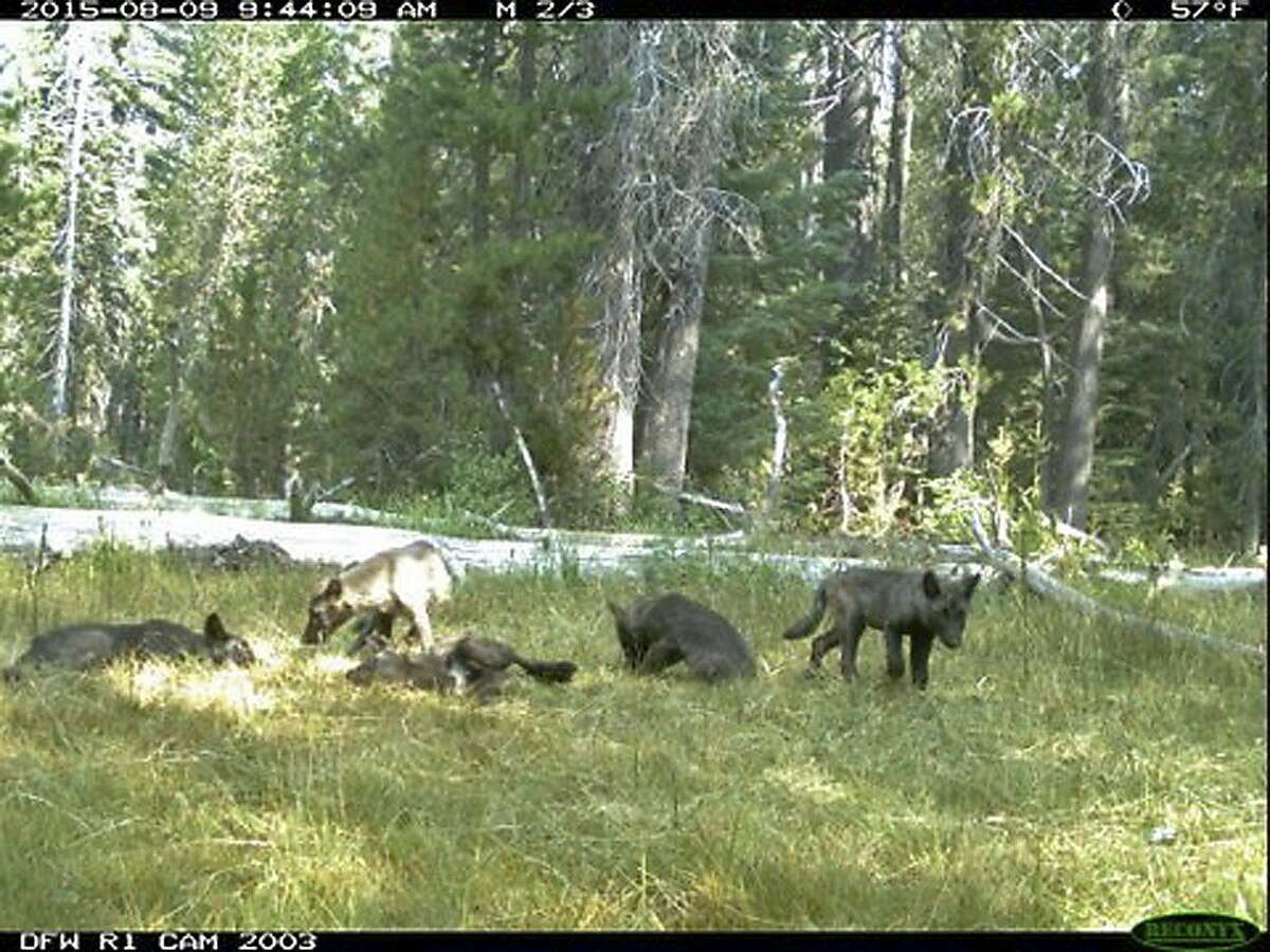 This Aug. 9, 2015 still image from video released by the California Dept. of Fish and Wildlife shows evidence of five gray wolf pups and two adults in Northern California. California has its first wolf pack since the state's last known wolf was killed in 1924.