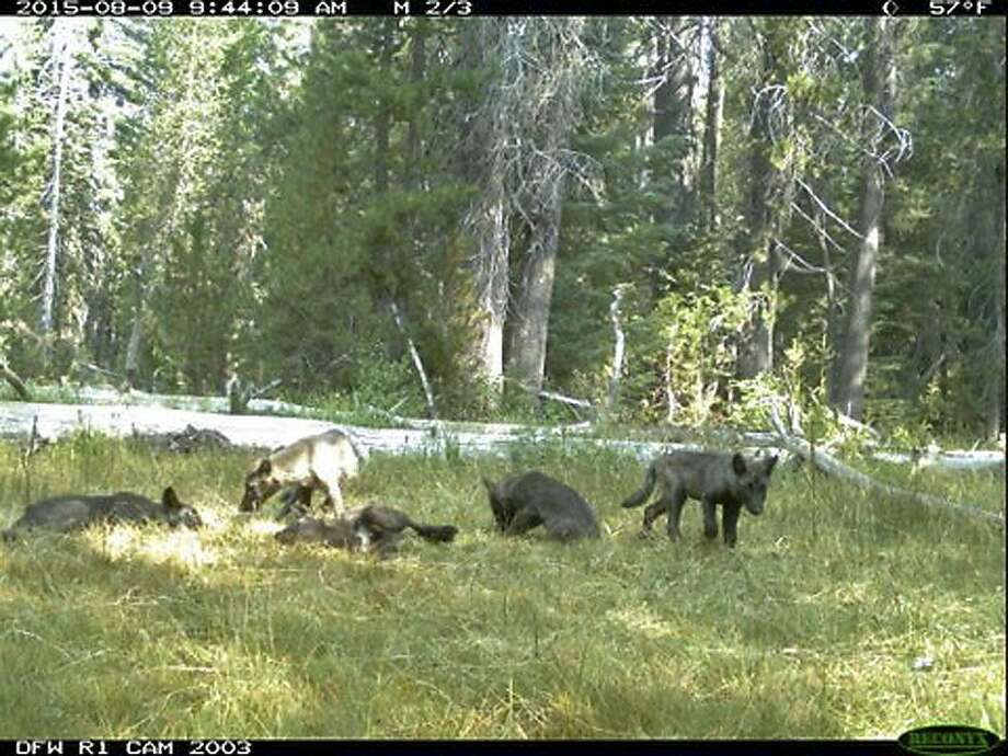 This Aug. 9, 2015 still image from video released by the California Dept. of Fish and Wildlife shows evidence of five gray wolf pups and two adults in Northern California. California has its first wolf pack since the state's last known wolf was killed in 1924. Photo: Associated Press