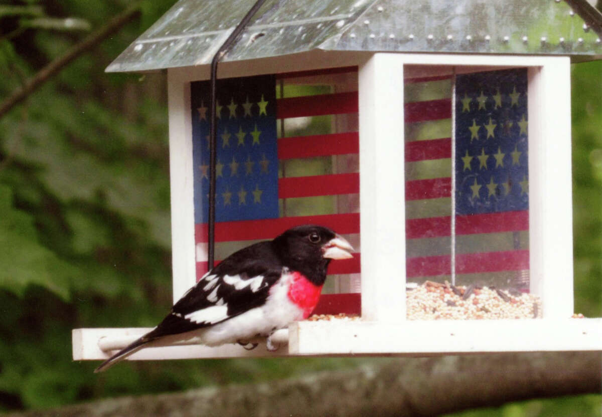 A rose-breasted grosbeak feeds in Len Sciotti's backyard in Rensselaer, N.Y. (Len Sciotti)