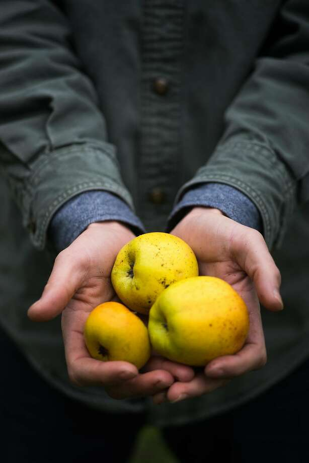 Mikey Guigni holds apples from Bear Valley Ranch in Aptos, calif on Sunday, Dec. 20, 2015. Guiding and Brughelli are winemakers who are now making hard cider. Photo: James Tensuan