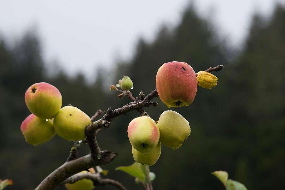 Apples are seen at Bear Valley Ranch in Aptos. Photo: James Tensuan