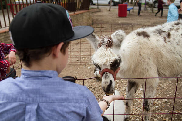 A boy feeds a llama at The Children's Shelter's Christmas carnival, Sunday, Dec. 20, 2015. The carnival was organized by Cory Basso, H-E-B Group Vice President of Marketing and Advertising which included a meet and greet with Spurs players Kawhi Leonard and Bruce Bowen, a petting zoo, a magician, face painter, a balloon artist and over $25,000 in gifts and gift cards for 50 kids at The Children's Shelter.