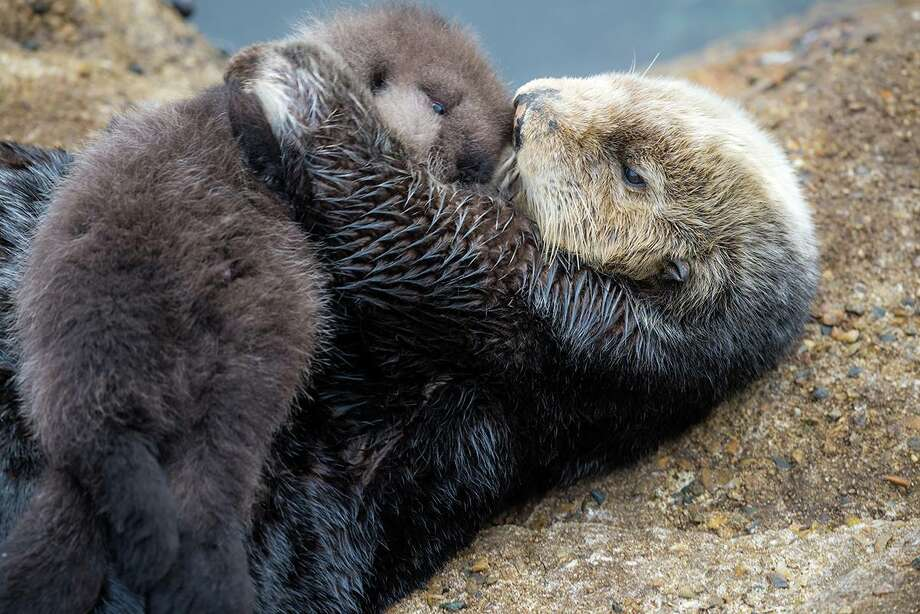 A wild female sea otter gave birth to a baby sea otter at the Great Tide Pool of the Monterey Aquarium on Sunday. Photo: Tyson V. Rininger, Monterey Bay Aquarium / ©Monterey Bay Aquarium