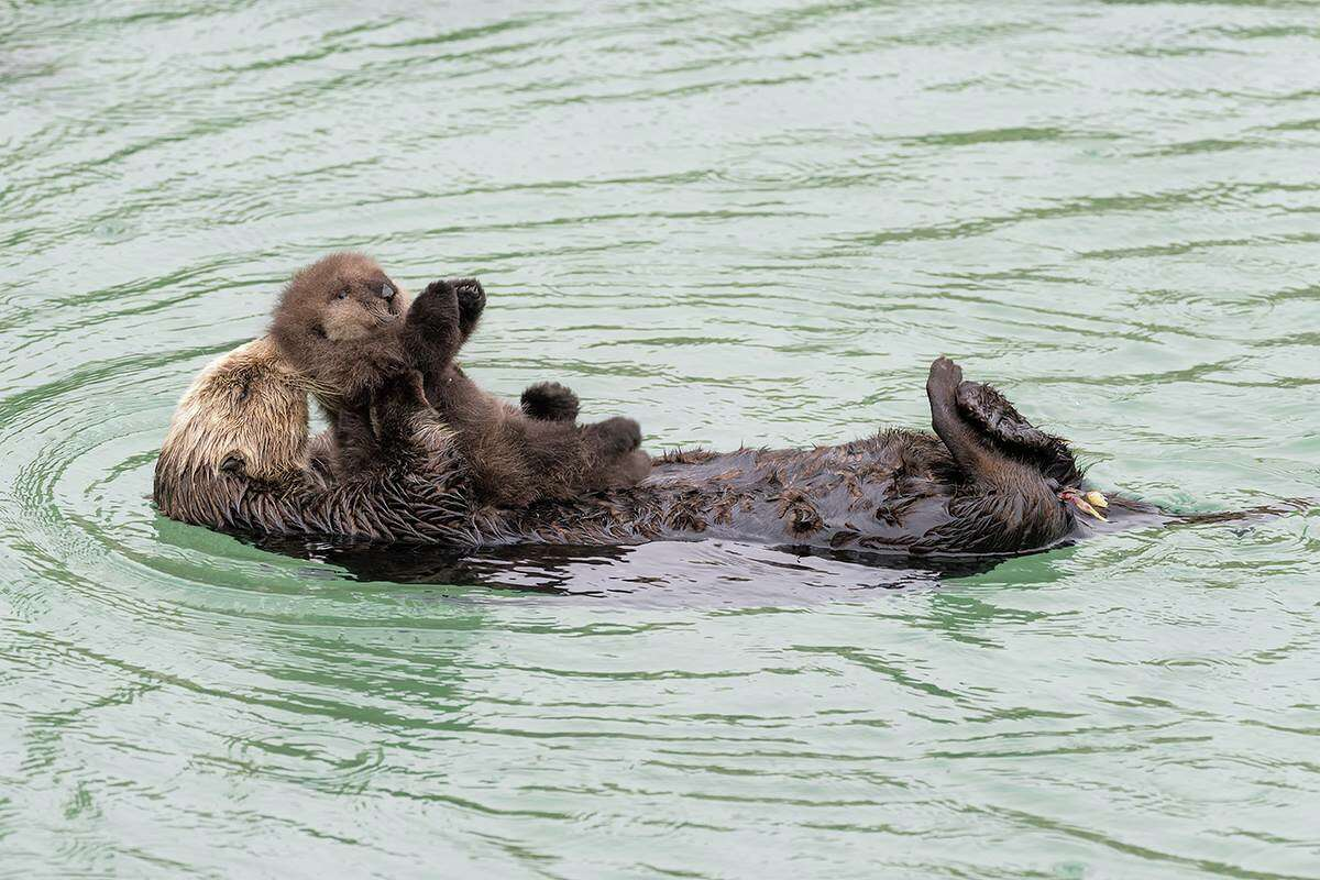 A wild female sea otter gave birth to a baby sea otter at the Great Tide Pool of the Monterey Aquarium on Sunday.