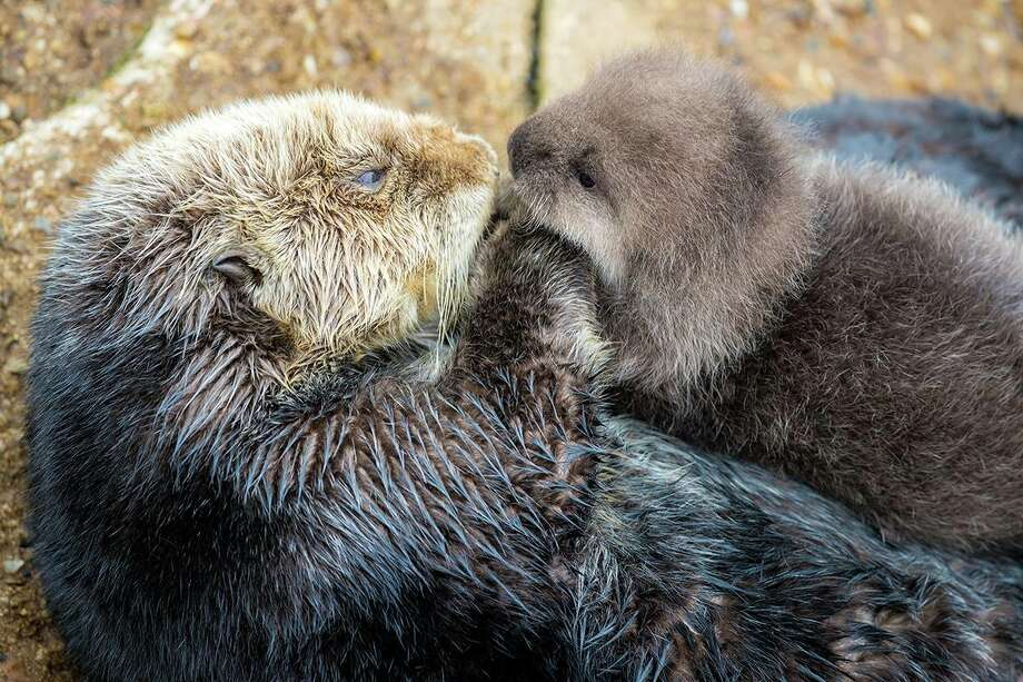A wild female sea otter gave birth to a baby sea otter at the Great Tide Pool of the Monterey Aquarium. Photo: Tyson V. Rininger, Monterey Bay Aquarium / ©Monterey Bay Aquarium