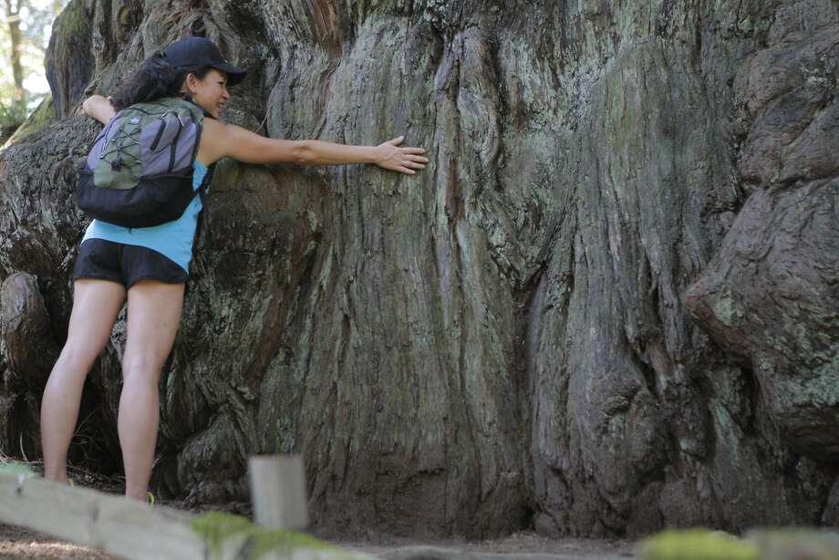 Kay Phan at base of the Methuselah Tree, located on Skyline/Highway 35 on Peninsula, north of Sky Londa. It is the biggest redwood on the Peninsula: a diameter of 14 feet and circumference of 44 feet (above the burls). Photo: Tom Stienstra, Tom Stienstra / The Chronicle