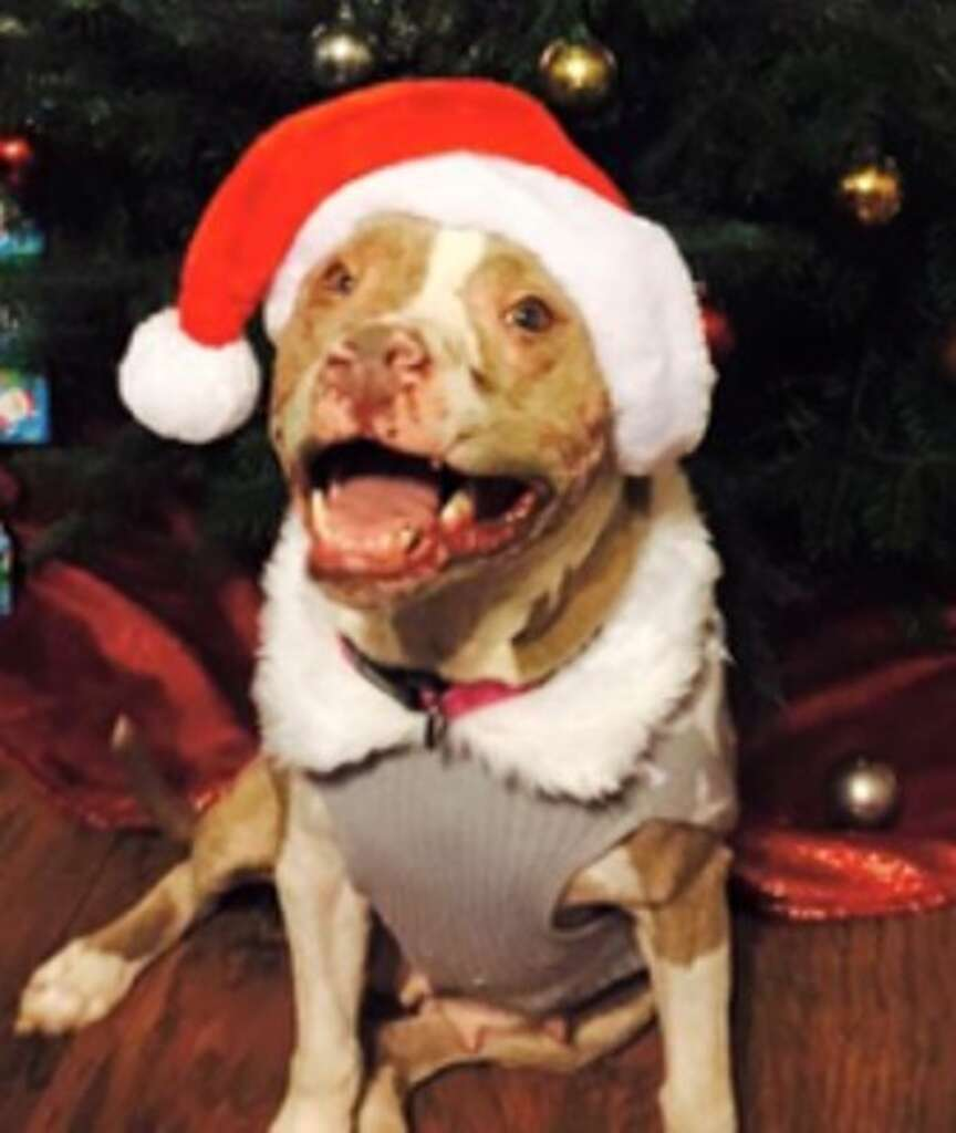 Rosie the pit bull, now recovered from acid attack, will spend ...