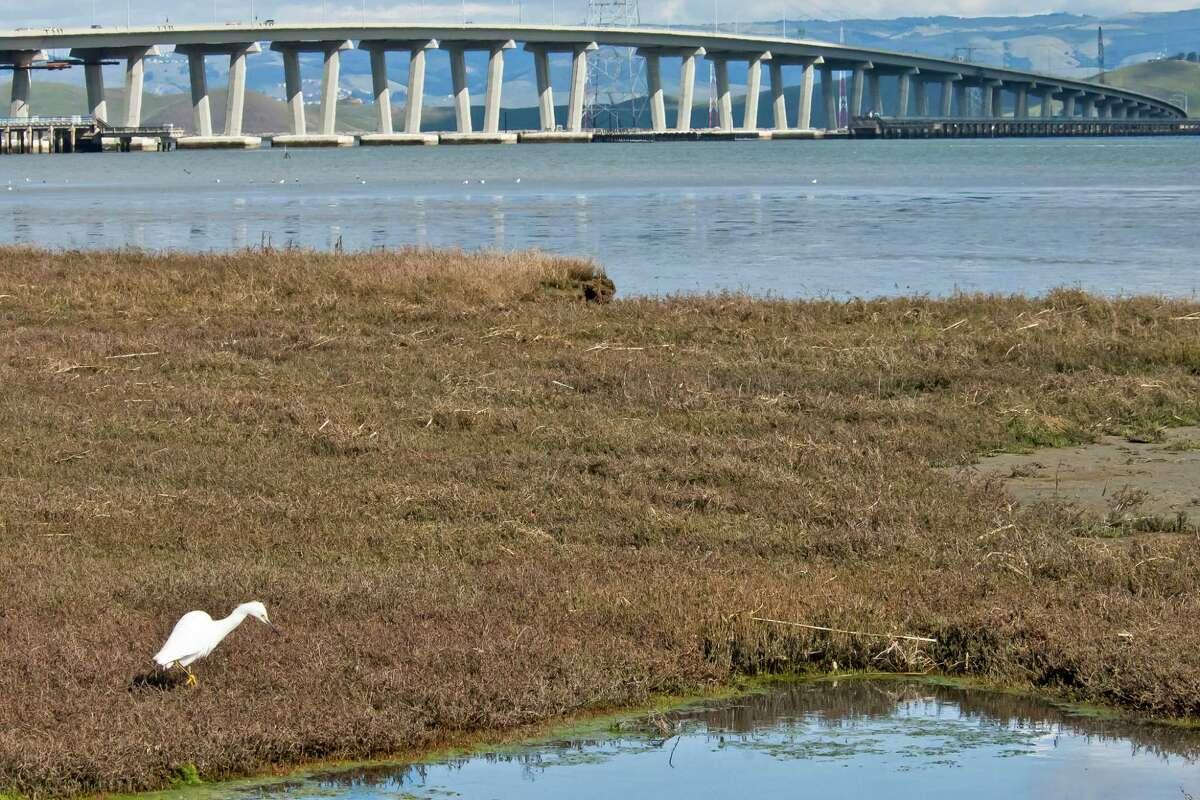 An egret stands in a restored marsh plain near the Dumbarton Bridge.