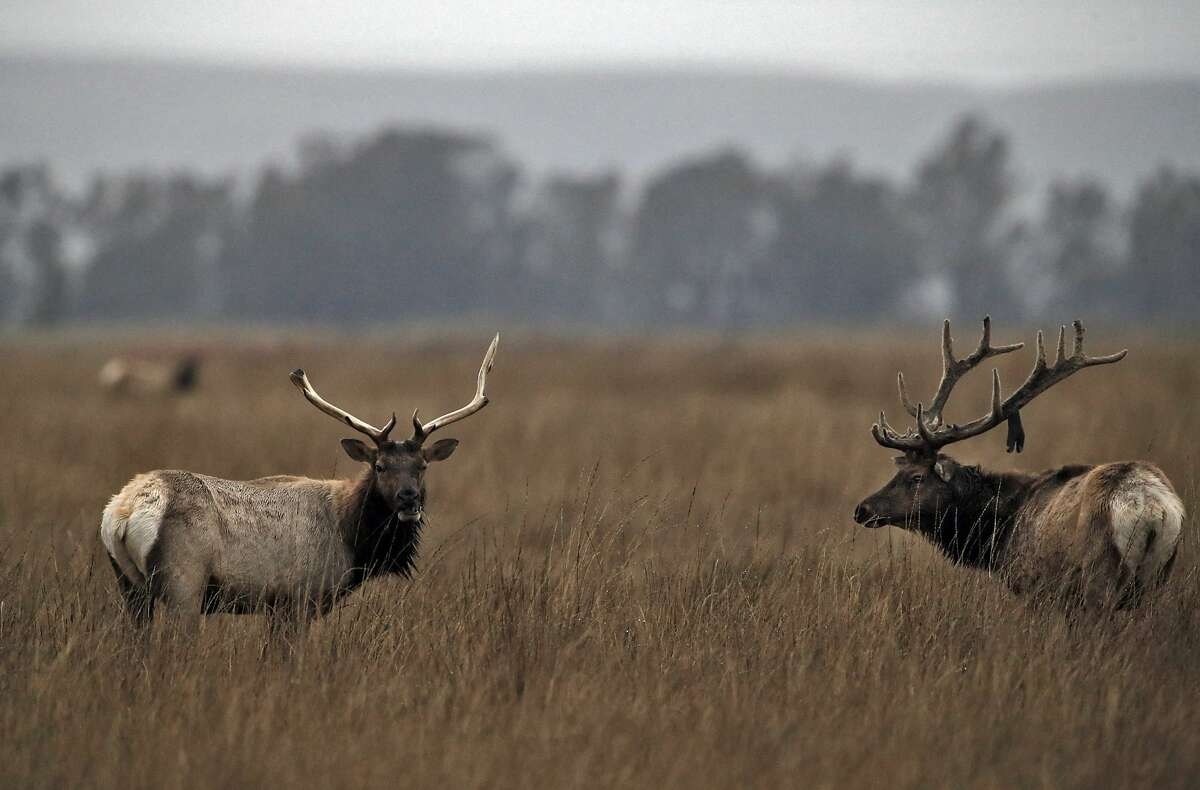 Two bull Tule Elks feed in the grass at the Grizzly Island Wildlife Area in Suisun, Calif., on Monday, December 21, 2015. The tule elk at Grizzly Island in the Lower Delta have been propagating like champs in the past 35 years. In the late 1970s, the herd started with with just a handful of animals, but as the population expanded at Grizzly Island, individuals were darted, transplanted and used as seed stock to start new herds. The number of elk has expanded from that handful to provide the seed for 21 herds with 3,800 elk around the state. Once numbering close to 500,000, they were all but extinct, but because of the Department of Fish and Wildlife's transplant program, they are thriving.