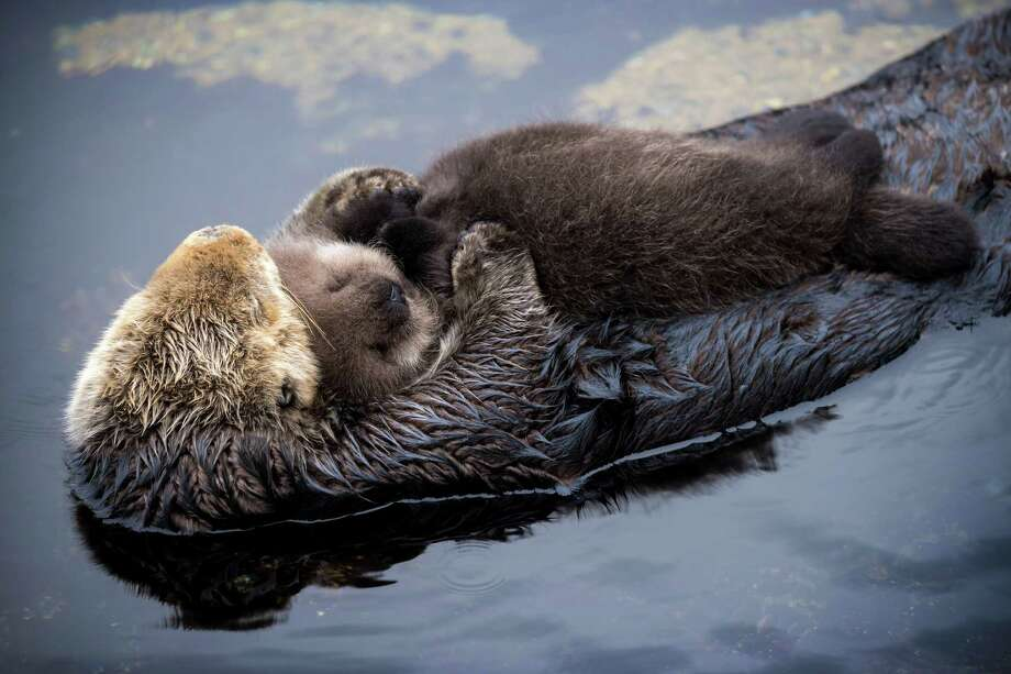 FILE — A sea otter and its newborn pup at the Monterey Bay Aquarium Tide Pool. Photo: Tyson V. Rininger, Monterey Bay Aquarium / ©Monterey Bay Aquarium