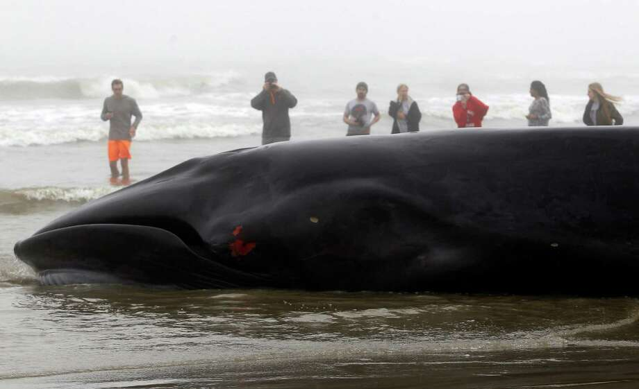 Onlookers watch as a deceased whale is towed to shore after it got stranded in the shallow water near West Beach on Tuesday, Dec. 22, 2015, in Galveston. Photo: J. Patric Schneider, For The Chronicle / © 2015 Houston Chronicle