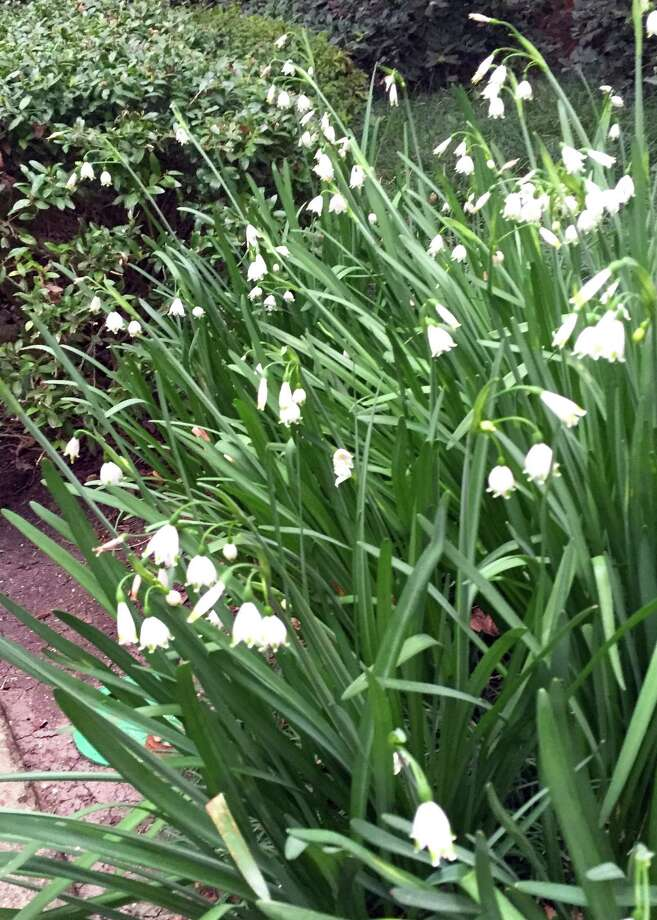 Lily of the valley does not grow well in Texas at all. We're just too hot. A better choice is this summer snowflake. It has lovely daffodil-like foliage and delicate, nodding flowers each spring. Photo: /Courtesy Photo