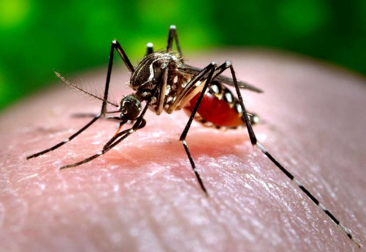 A female Aedes aegypti mosquito, which can spread the Zika virus, acquires a blood meal from a human host at the Centers for Disease Control in Atlanta.