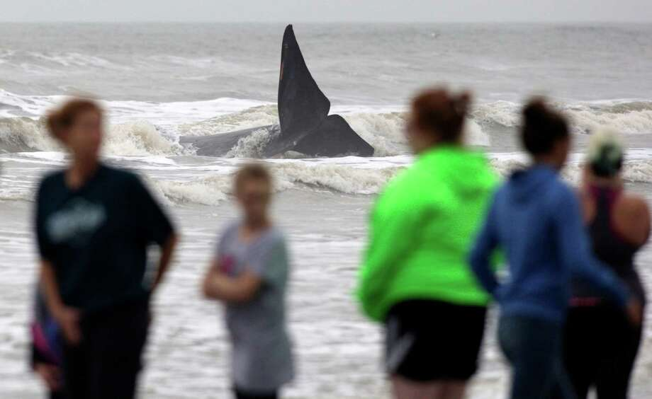 A whale was stranded in the shallow water Tuesday off Terramar Beach along Galveston's West End. Photo: J. Patric Schneider, Freelance / © 2015 Houston Chronicle