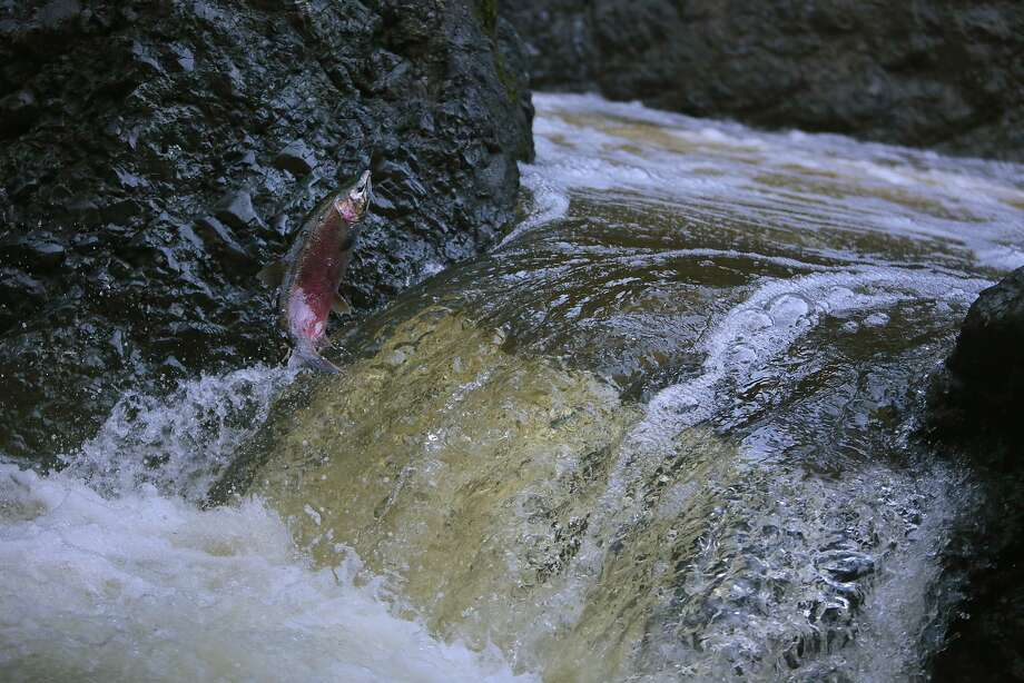 An endangered coho salmon jumps a waterfall at the Inkwells in the San Geronimo Creek in Samuel P. Taylor State Park in Lagunitas, California, Wednesday, December 23, 2015. Ramin Rahimian/Special to The Chronicle Photo: Ramin Rahimian, Special To The Chronicle