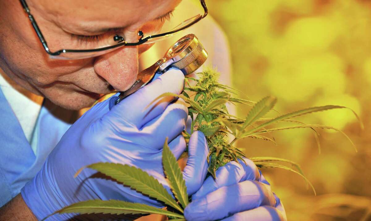 Chief cultivator Chuck Schmitt examines a plant during the first harvest of cannabis plants by Vireo Health of New York has begun at Tryon Technology Park and Incubator Center Thursday Nov. 12, 2015 in Perth, NY. Medical marijuana production licenses were granted by the state earlier this year. (John Carl D'Annibale / Times Union)