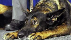 "State Police K-9 Mike lays and listens during a press conference held by Senator Kathy Marchione and Assemblyman Angelo Santabarbara to promote their bi-partisan legislation memorializing March 13, as ""K9 Veterans Day"" in New York State at the  Legislative Office Building on Friday March 13, 2015 in Albany, N.Y.  (Michael P. Farrell/Times Union)"