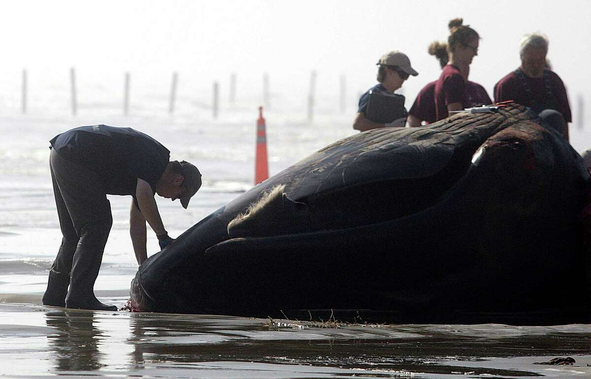 Officials conduct a necropsy on a whale near the Terramar Beach subdivision on Wednesday, Dec. 23, 2015, in Galveston. The 44-foot-long Sei whale died a day earlier after becoming stranded in shallow waters along the West End of Galveston Island.