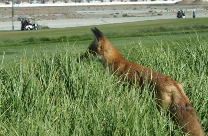 """The Bay Area's """"Golf Course Bandit"""" is a fox that that burglarizes golf carts. The most recent incidents include a club head cover, cell phones, a whiskey flask, a wallet and car keys. In the latter case, the golfer chased the bandit fox into some adjoining wetlands, where it dropped the wallet, but not the keys,"""