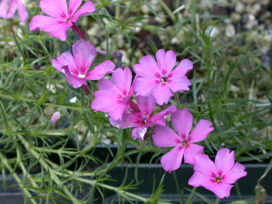 Texas trailing phlox (Phlox nivalis ssp. texensis) Photo: Suzzanne Chapman /Mercer Arboretum And Botanic Garden
