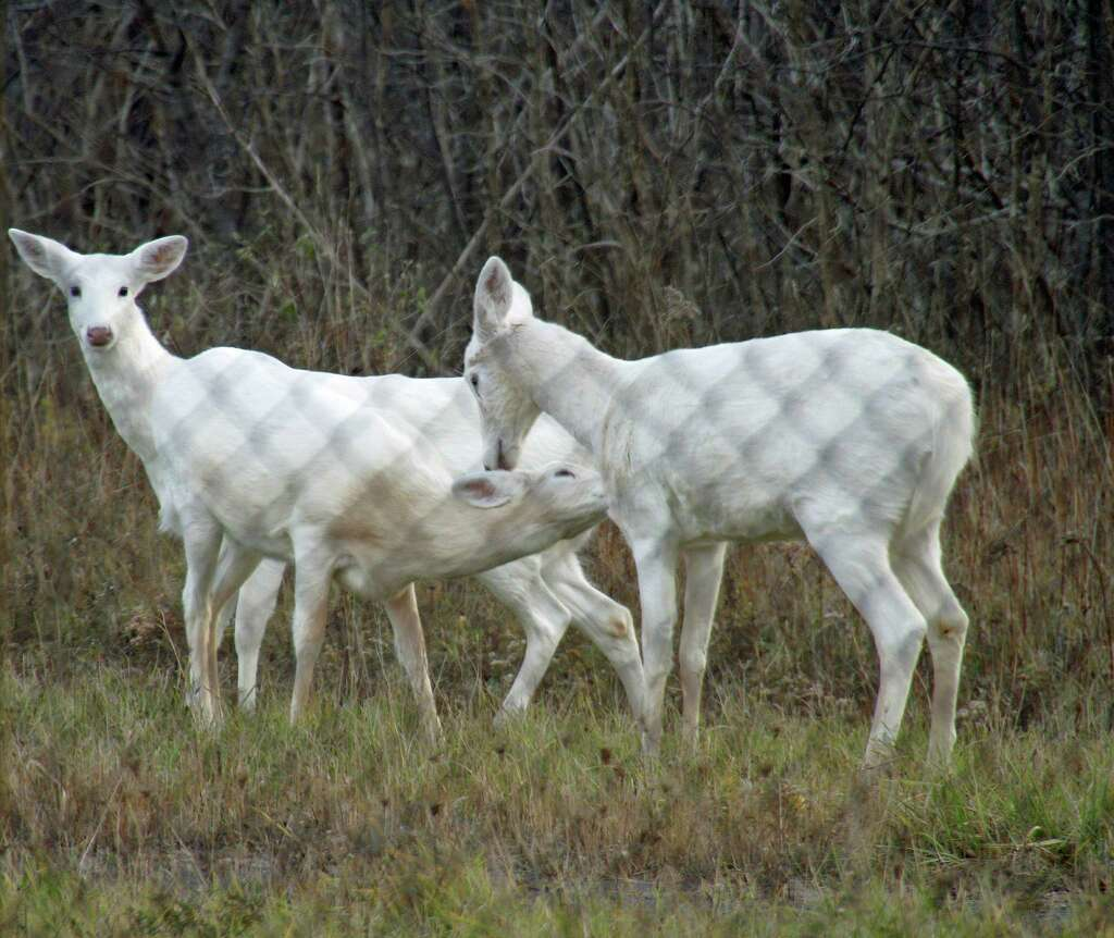 White Deer Behind The Fence At The 7,000acre Seneca Army Depot Face An  Uncertain