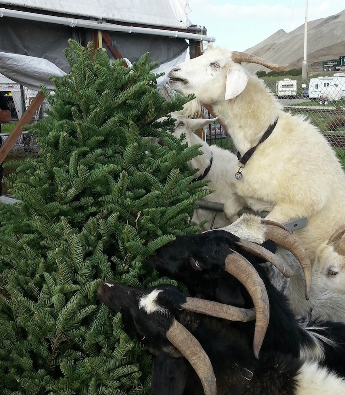 Goats eat a Christmas tree in 2014 at City Grazing in San Francisco.