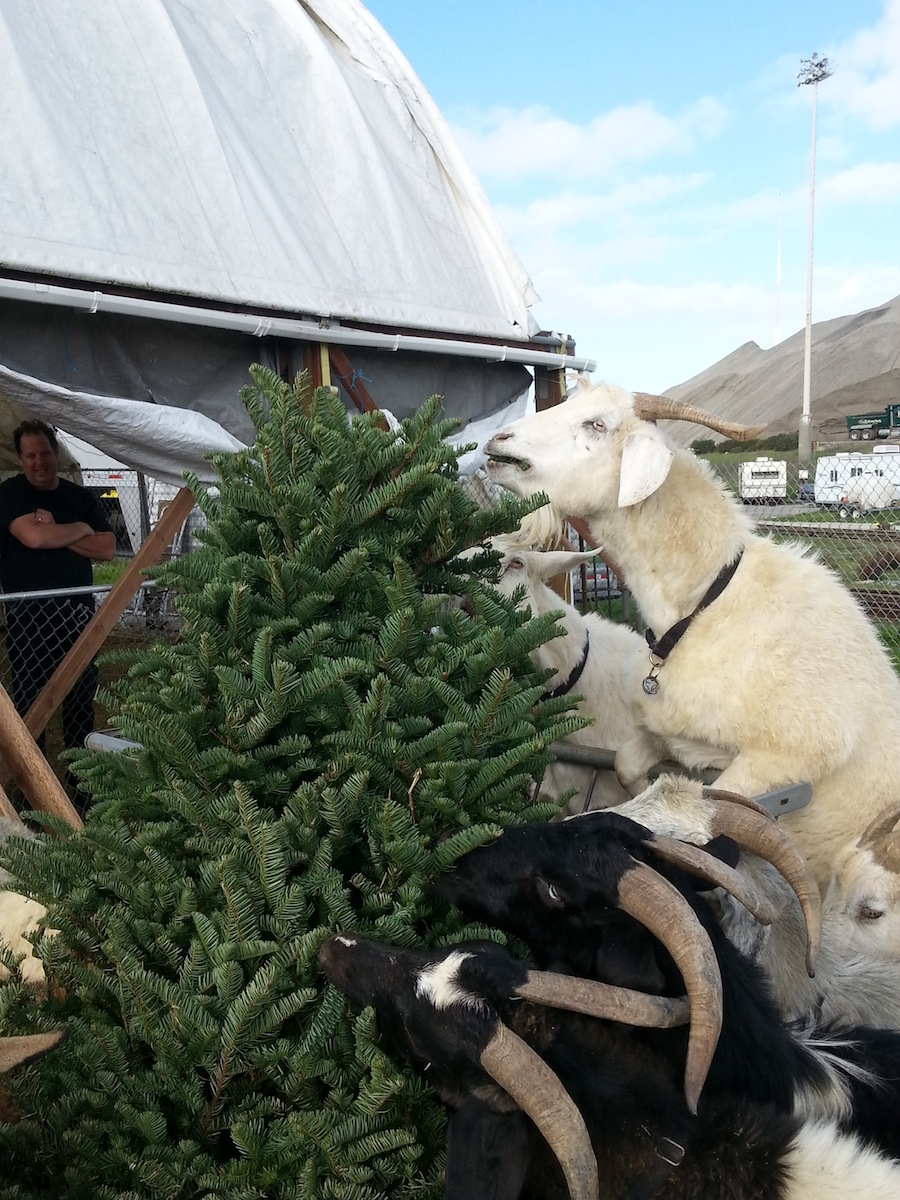 Goats: Another option for recycling your Christmas tree - SFGate