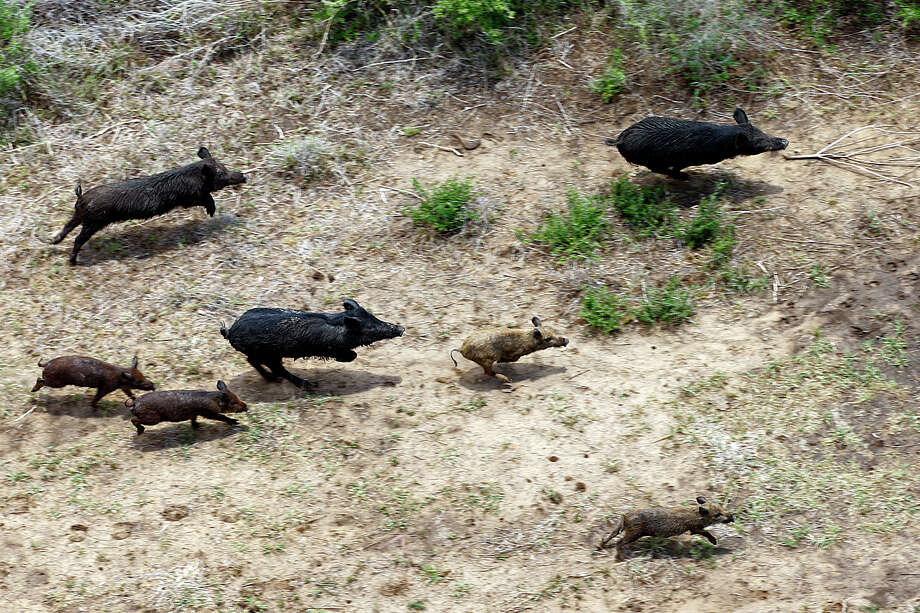 Feral hogs runs through a farm in Atascosa County, Thursday, June 23, 2011. Joseph Meyers, of Flying J Services, is hired by farmers to eliminate the feral hog population and hunts them from his helicopter. JERRY LARA/glara@express-news.net Photo: JERRY LARA, San Antonio Express-News / SAN ANTONIO EXPRESS-NEWS
